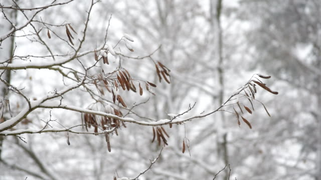 Winter in forest. Black locust tree branch video