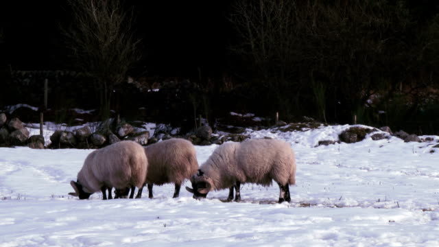 Winter scene with a rams trying to find grass video