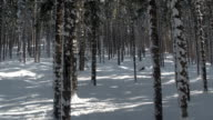 CLOSE UP: Winter sun shinning on snowy tree trunks in stunning spruce forest video