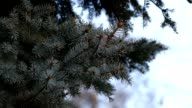 Winter tree fir tree branch close-up nature christmas video