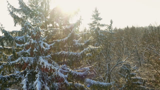 AERIAL Wintry forest at dawn video