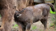 Wisent calf with mother video