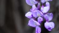 Wisteria floribunda flowers 4K video
