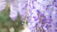 Wisteria floribunda - Japanese wisteria video