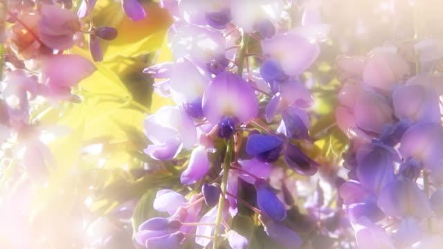 Wisteria flowers - colorful romantic feminine floral background video