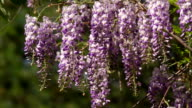 Wisteria sinensis flowers video
