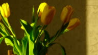 Withering yellow tulips video