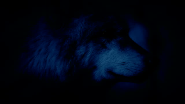 Wolf Alert In Forest At Night video