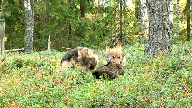 Wolf cub and raccoon video