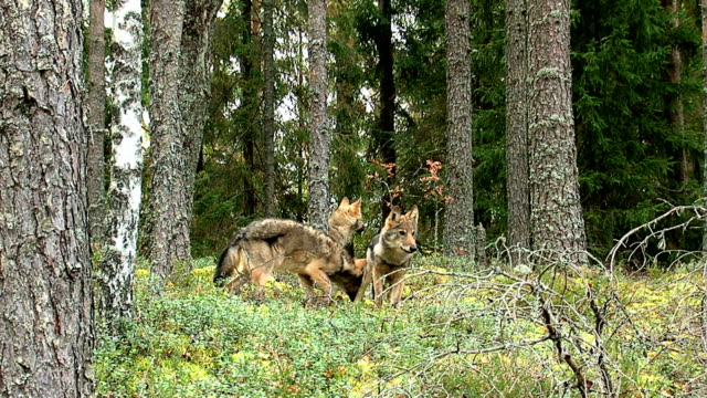Wolf cubs video