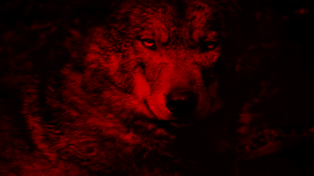 Wolf Growls Blood Red Abstract video
