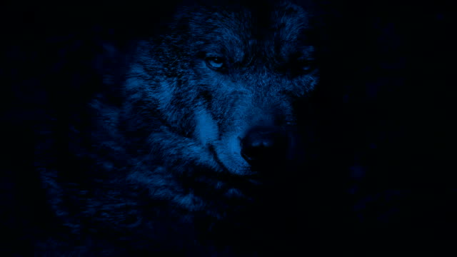 Wolf Growls In The Forest At Night video