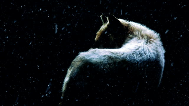 Wolf In Dark Forest With Snow Falling video