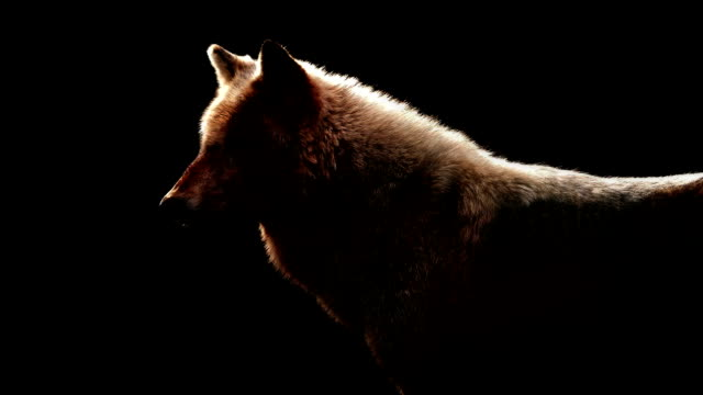 Wolf In Dramatic Lighting On Black Background video