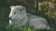 Wolf in the morning sun video