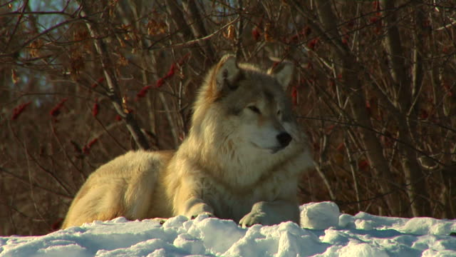 wolf in winter video