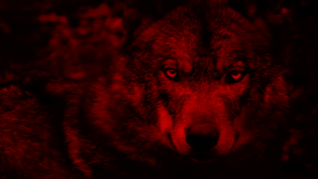 Wolf Looking Around Blood Red Abstract video