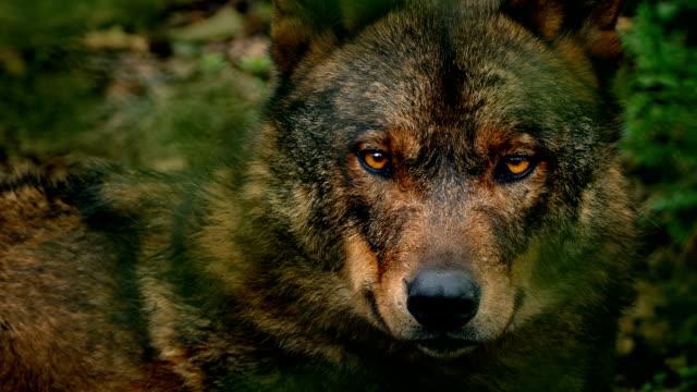 Wolf Looking Around Deep In Woods Closeup video