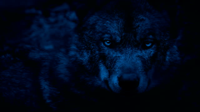 Wolf Looking Around The Woods At Night video