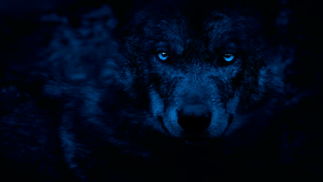 Wolf Looking Around With Bright Eyes In The Dark video