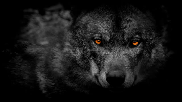 Wolf Looking Around With Fiery Eyes Abstract video