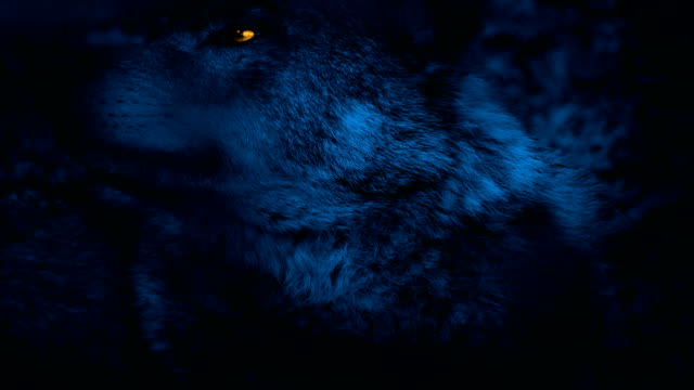 Wolf Looking Around With Glowing Eyes At Night video