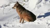 HD: Wolf on snow video