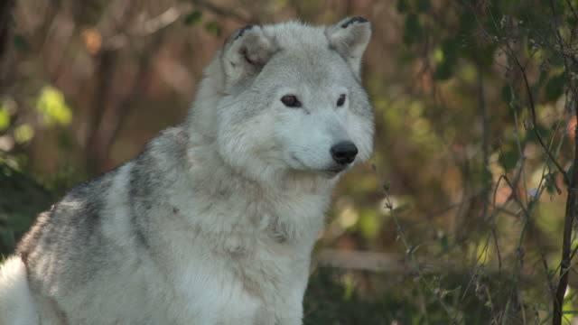 Wolf on watch video