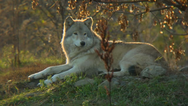Wolf relaxing video