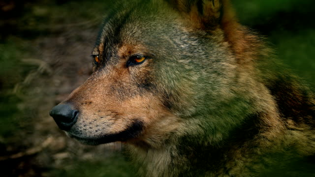 Wolf Side View In Forest video