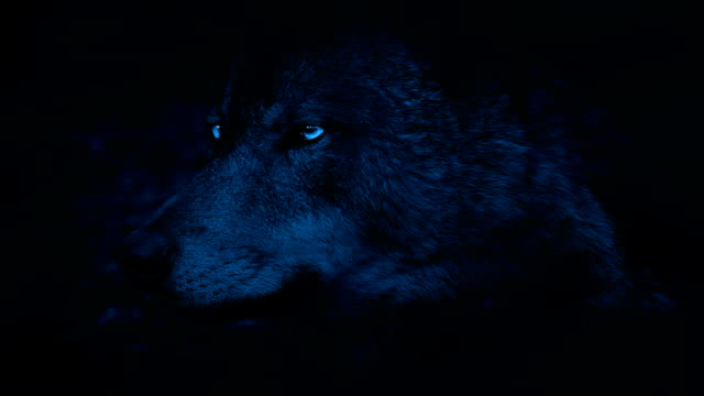 Wolf Side View With Bright Eyes In The Dark video