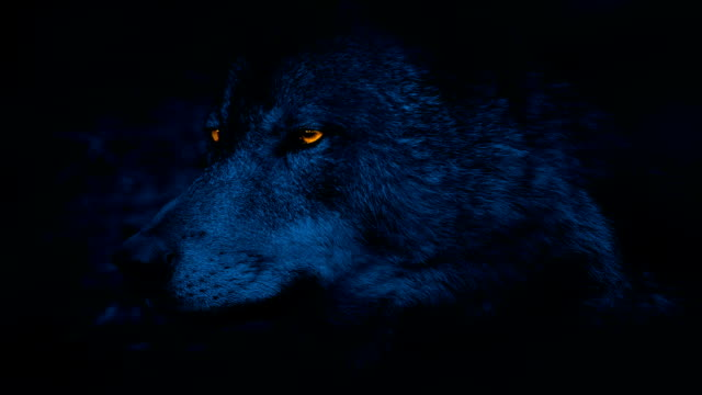 Wolf Side View With Glowing Eyes At Night video