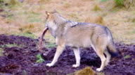 Wolf walking with a meat bone in the mouth video