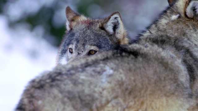 Wolf's eyes searching territory video