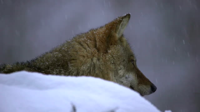 Wolves and winter video