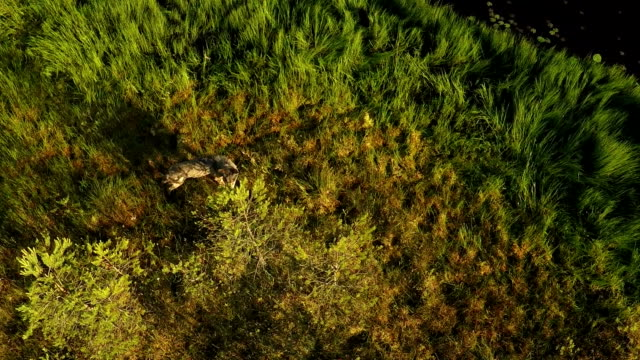Wolves from air video
