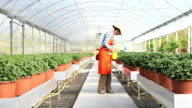 woman at work in greenhouse with spray, care plants to growth video
