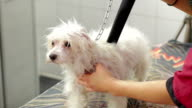Woman blow drying small white maltese dog video
