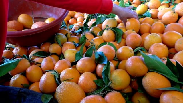 Woman choosing oranges from pile video