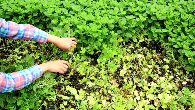 woman farmer hands picking mints plants at field video