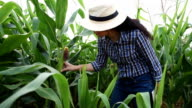 Woman farmer holding tablet and keep data in corn field video