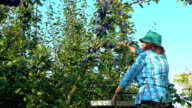 Woman farmer picks plums video