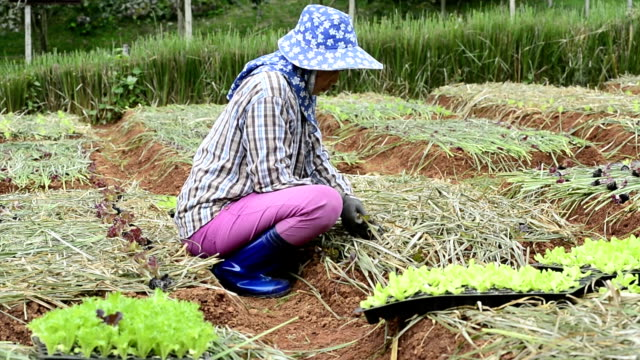 woman farmer planting vegetable in green farm video
