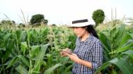 Woman farmer using tablet keep data harvest in corn field video