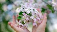 Woman hands cherishes a tender apple blossom truss. video