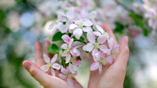 Woman hands cherishes a tender apple blossom truss. video