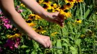 woman hands cut pick  rudbeckia flowers scissors clipper garden video