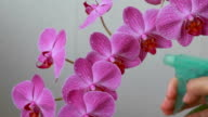 Woman hands with sprayer spraying on orchid flowers video