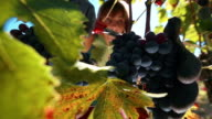 Woman harvesting and picking up grape for wine video