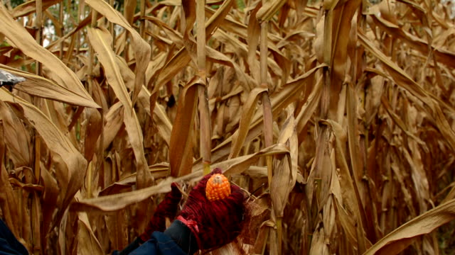 Woman Harvesting Corn video